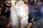 Белая горилла Снежок